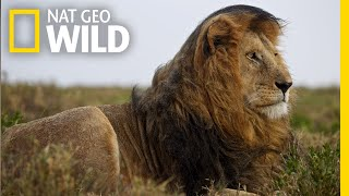Lions 101   Nat Geo Wild