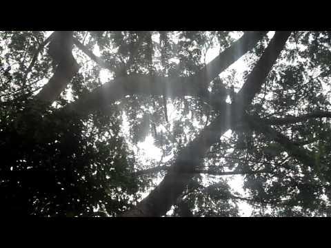 Baixar sanhaço- figueira  cantado  bem  alto -  canto  muito   bonito.