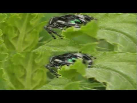 3D Jumping Spider (Phidippus audax)