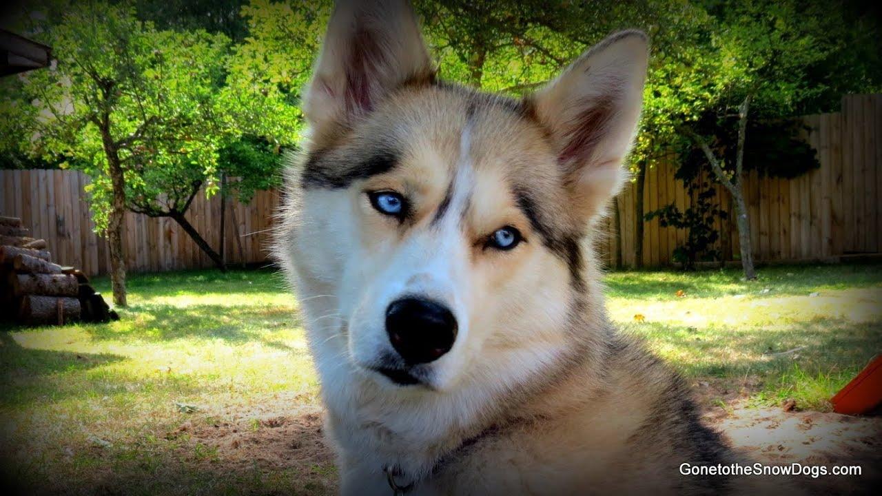 What Kind Of Food Do Huskies Eat