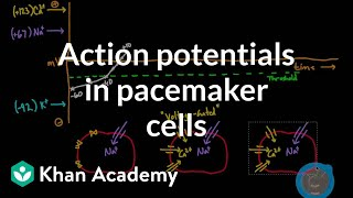Action potentials in pacemaker cells | Circulatory system physiology | NCLEX-RN | Khan Academy