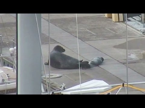 See Mama Seal Birth Her Pup On Boat Dock - Smashpipe News Video