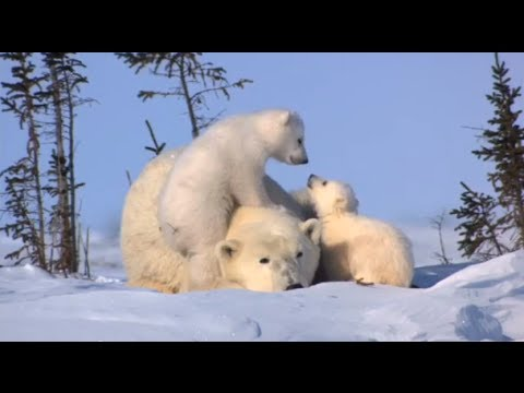 World Wildlife Fund: Celebrate Wildlife Like Polar Bears This Season - Smashpipe Tech
