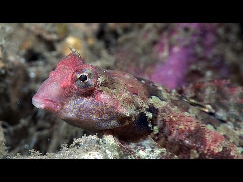 """Mandarinfish & other dragonets. Part 9 of my documentary, """"Mucky Secrets"""", about the fascinating marine creatures of the Lembeh Strait in Indonesia.  In this video I study dragonets including the amazing mandarinfish. Dragonets are benthic animals, meaning that they live on the seabed. They thrive in the muck of Lembeh. Dragonets are well-adapted to benthic life. They are well camouflaged and at night they bury their bodies. The eyes and gills are placed high so only they remain above the sand.  The fingered dragonet, Dactylopus dactylopus, is found in the Lembeh Strait. The first ray of each pelvic fin is effectively a limb or """"finger"""" that the dragonet uses to walk along the seabed and dig for food. The male has warpaint-like facial markings and has long filamented rays on its dorsal fin that it holds forward when walking. The female has a bright orange upper lip.  The orange-black dragonet, Dactylopus kuiteri, is very similar. We encounter an adult and juvenile in close proximity, feeding on the seabed.  The Morrison's dragonet, Synchiropus morrisoni, shuffles around the seabed without the aid of the separated fin rays.  A similar species of dragonet, the mandarinfish, Synchiropus splendidus, stays well hidden amongst shallow hard corals during the day. At dusk the males eagerly seek out female mates. During the hunt they hold their first dorsal fin aloft as an advertisement to the females and a warning to competing males.  When a mate has been found, the female rests on the larger male's pectoral fin and the couple rise up together from the reef. At the peak of their ascent they simultaneously release sperm and eggs and then make a dash for cover as the spawn drifts away in the current.  This frenzy of sexual activity typically lasts some thirty minutes until nightfall. If fertilized, the eggs will hatch about a day later and the tiny larvae will drift for a further week or two before settling onto the bottom to begin their benthic life.  There are English capti"""