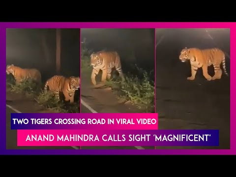Anand Mahindra shares viral video of two tigers crossing road at night