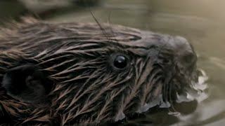 Wild Beavers Return After 400 Years | Wild Rescue | BBC Earth