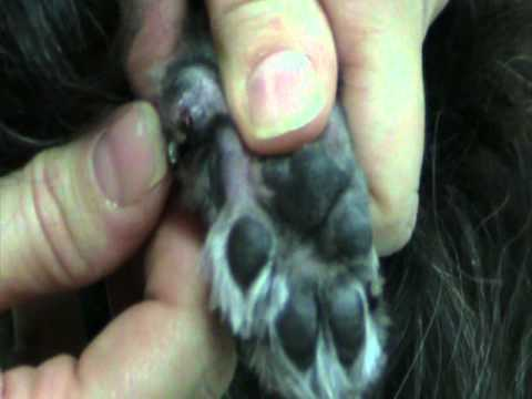 How To Clip Ingrown Dew Claws Youtube