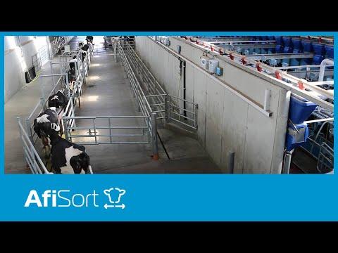 AfiSort Cow Separation by Afimilk