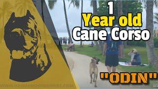 "1 Year old Cane Corso ""Odin"" 2 week board and train | Hawaii@OffLeashK9Training.com|"