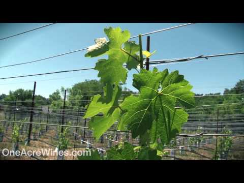 One Acre Napa Valley - Yountville AVA Episode 10 - Spring Shoot Training