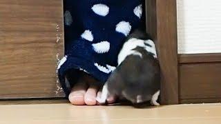 飼い主について行きたくてたまらないハムスター!おもしろ可愛いハムスターFunny Hamster want to follow hard after a ownero