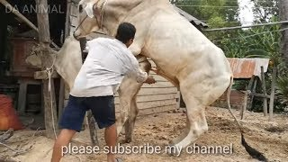 How to Breds Cow in Canada, Amazing breeds cows, Kỹ Thuật Phối Giống Bò