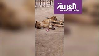 تفاعلكم | أزمة أسود السودان مستمرة ولبوة تموت وأمامها اللحم ...