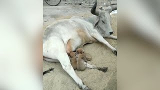 Viral: Cow feeds 4 puppies after their mother dies in acci..