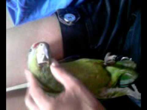 Baixar Papagaio manhoso