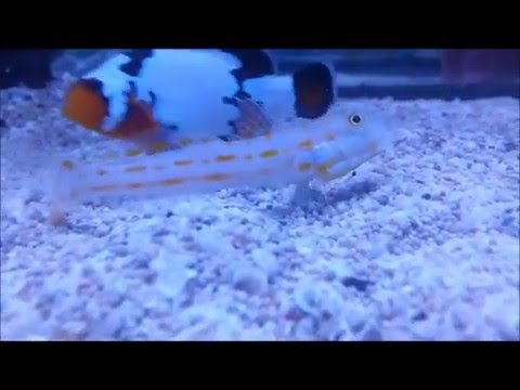 Diamond Goby Sand Sifting