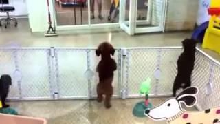Сеть взорвало видео пляшущего щенка, который увидел хозяина