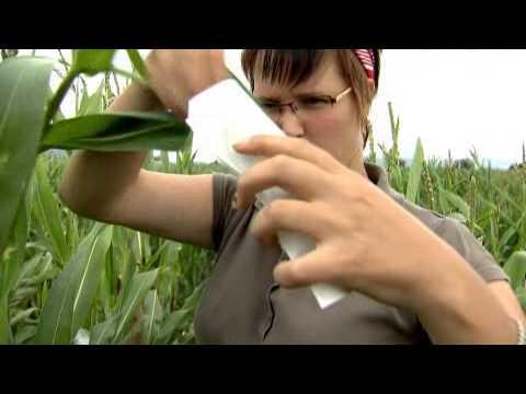 Энергетическая кукуруза от КВС