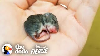 Tiny Baby Mouse Found Tucked Into Blankets | The Dodo Little But Fierce