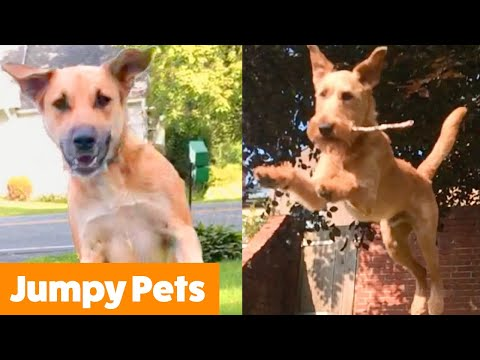Excited Jumping Pet Bloopers   Funny Pet Videos