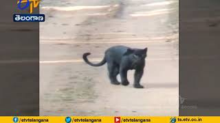 Rare black Leopard spotted in Karnataka, video goes viral..
