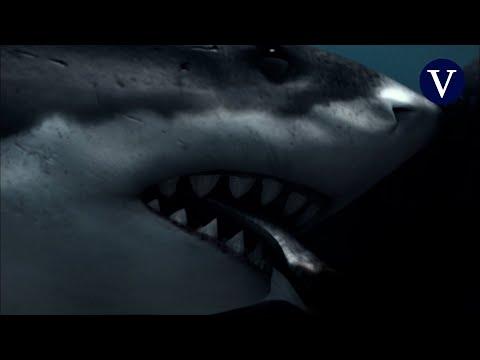 Descubren cómo el megalodón llegó a tener unos dientes tan grandes y crías enormes