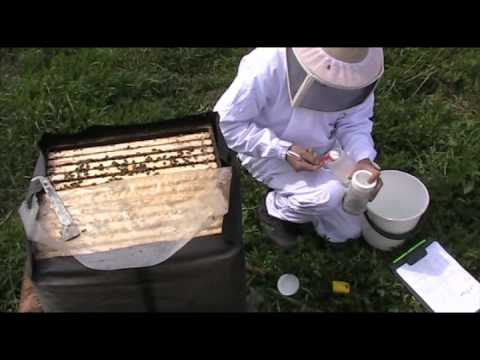 Varroa check with Marla Spivak powder sugar method.avi - YouTube