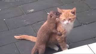 CUTE WEASEL PLAYING WITH GINGER CAT MUST WATCH!