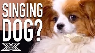 Singing Dog Leaves Simon Cowell Confused!   X Factor Global