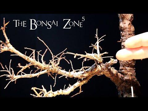 Finally, a Chinese Elm Bonsai, Jan 2018