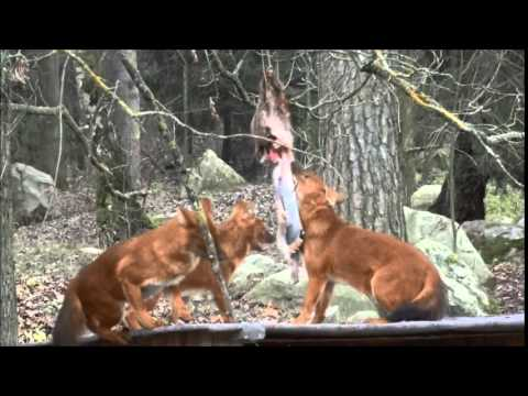 Berikning hunddjur Parken Zoo