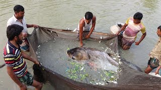Mixed Carp Fish seeds Farm   Silver carp & rui fish catching from pond