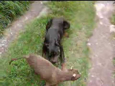 doberman y pit bull - YouTube