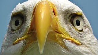 Bald Eagle Bird - Birds of Prey - Awesome Close Up