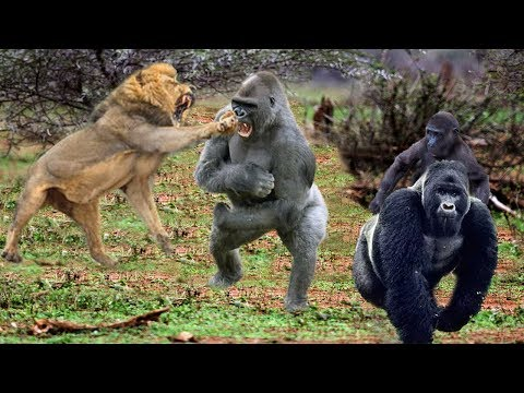 King Lions attack Gorillas, Herd Gorilla panic carry Baby on his back run away