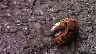 Hornet vs. Cicada