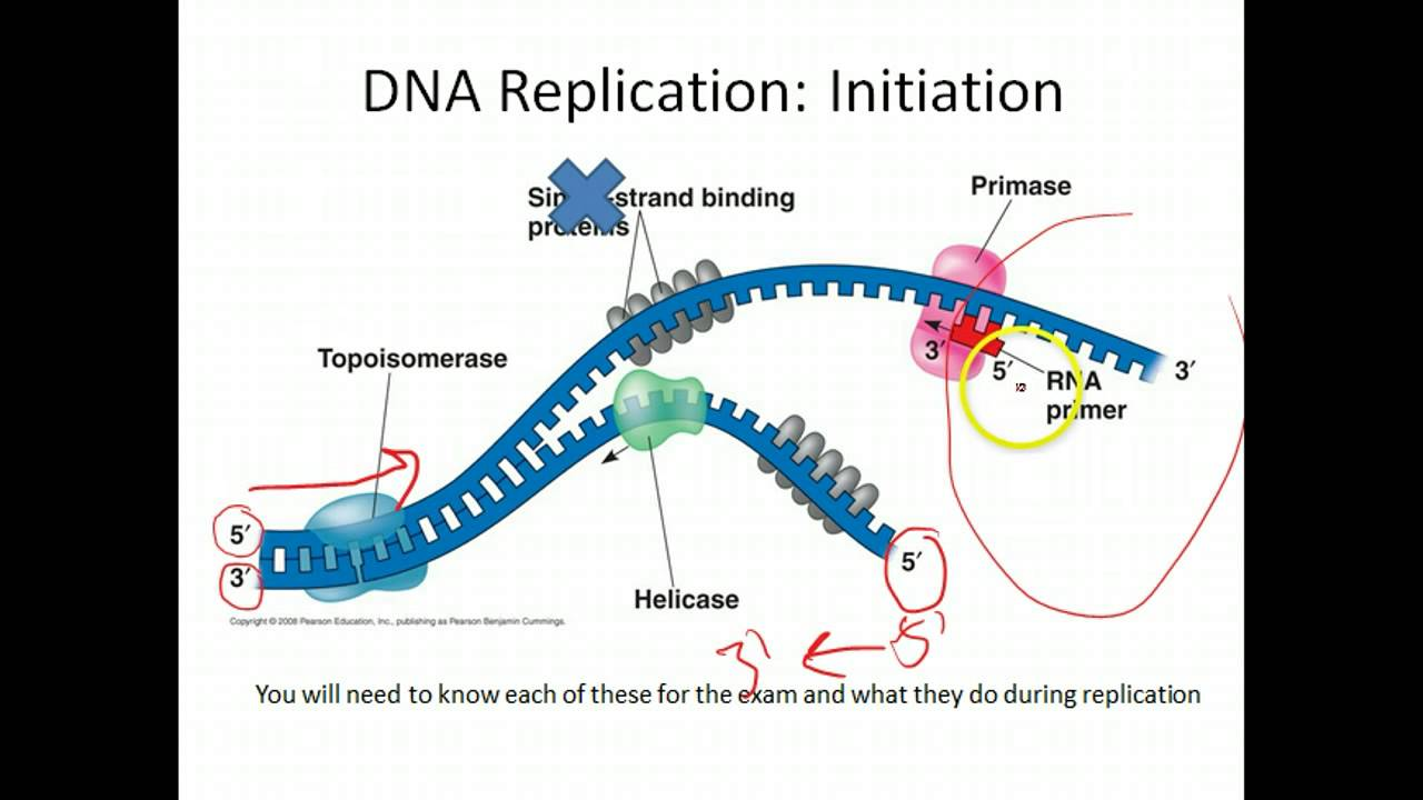 Dna And Rna Essay Questions