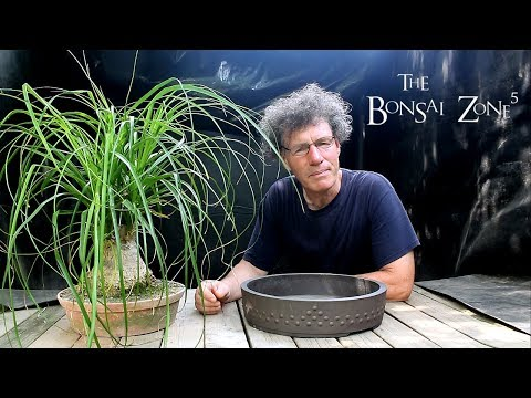 Repotting my Ponytail Palm Bonsai, The Bonsai Zone, June 2018