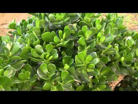 Plantas para atraer el dinero - Plantas para atraer el dinero ...