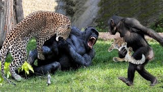Big batter Gorilla vs Leopard fighting, Both tired when the war has no end