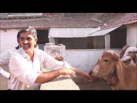 King of Bhadwa Worlds Most Popular Gir Cow Breeder