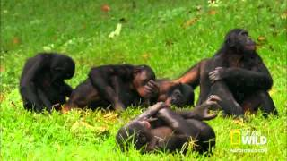 chimpances chistosos top 10 compilaci 243 n de monos graciosos y divertidos 2014 7863