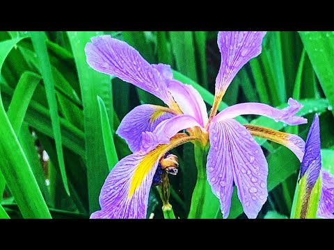 screenshot of youtube video titled The Blue Flag Iris and The Dwarf Crested Iris
