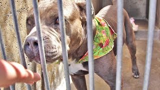 Rescuing A Pitbull From A High-Kill Shelter