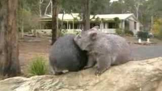 Wombats of Wamboin, near Queanbeyan N.S.W. (repost)