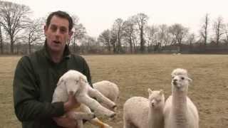 Alpacas protect lambs!