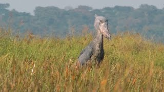 On a quest for the Shoebill