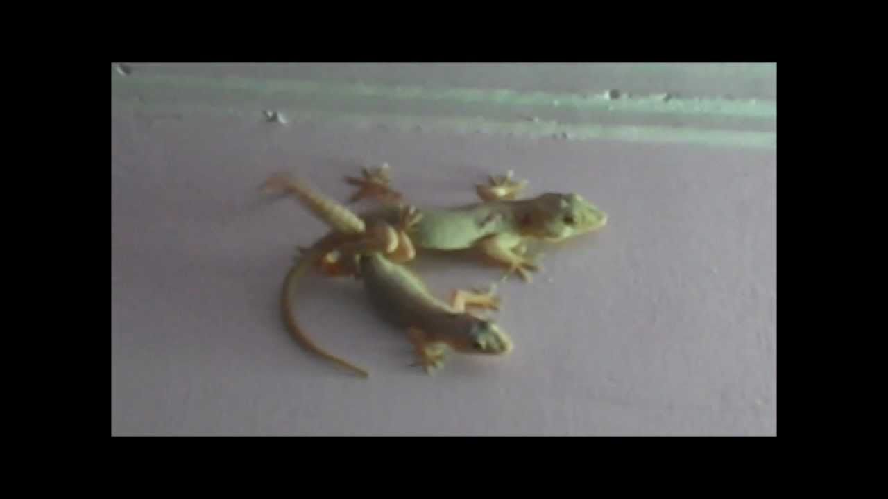 Watch Lizards having Sex in our Office - YouTube