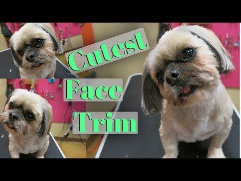 Cutest Shih Tzu Face Trim