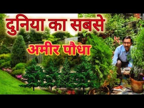 दुनिया का सबसे अमीर पौधा मोरपंखी, 5 मिनट में होता है चमत्कार // Finest Vastu Plant on Earth Thuja
